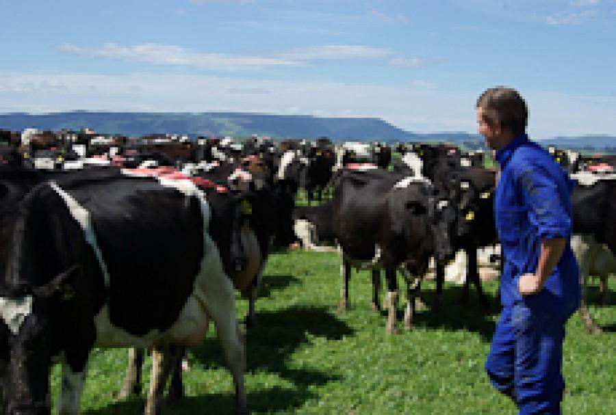 A farmer in a field of cows